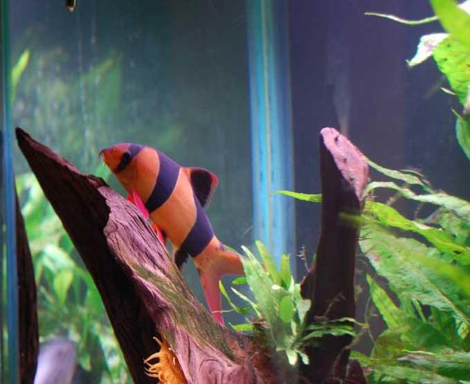 Passions et partage aquariophilie les loches for Aquarium eau chaude