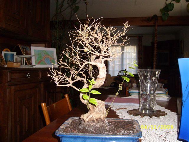 espace bonsaï :: mon bonzai a perdu toutes ses feuilles