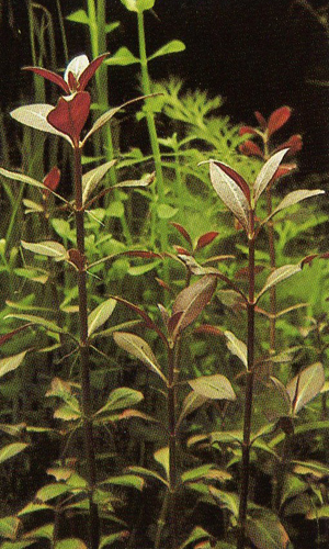 Plante feuille verte et rouge - Plante a feuilles rouges ...