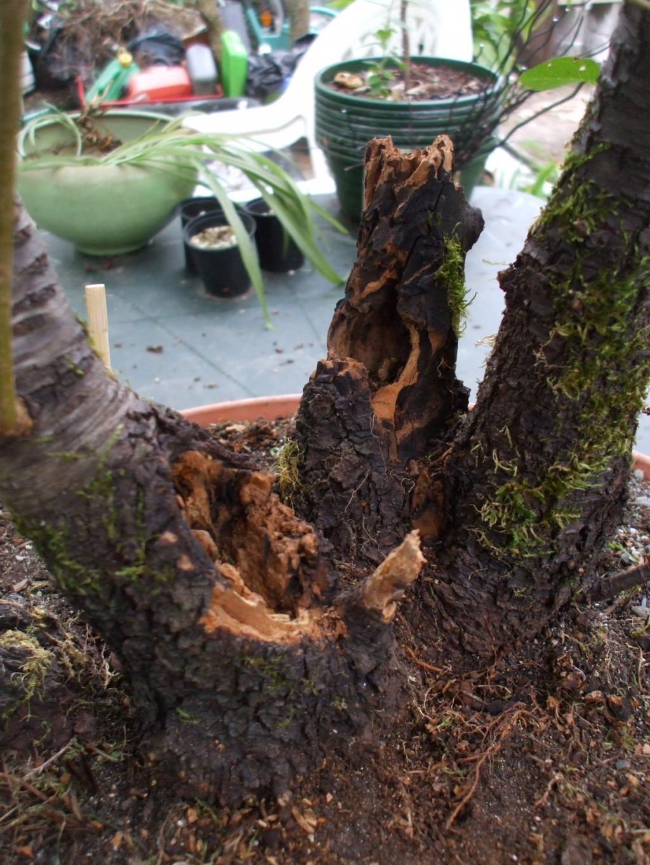 Cerisier Bois Mort : La baguette plant? dans le substrat n'est pas la pour marquer la face