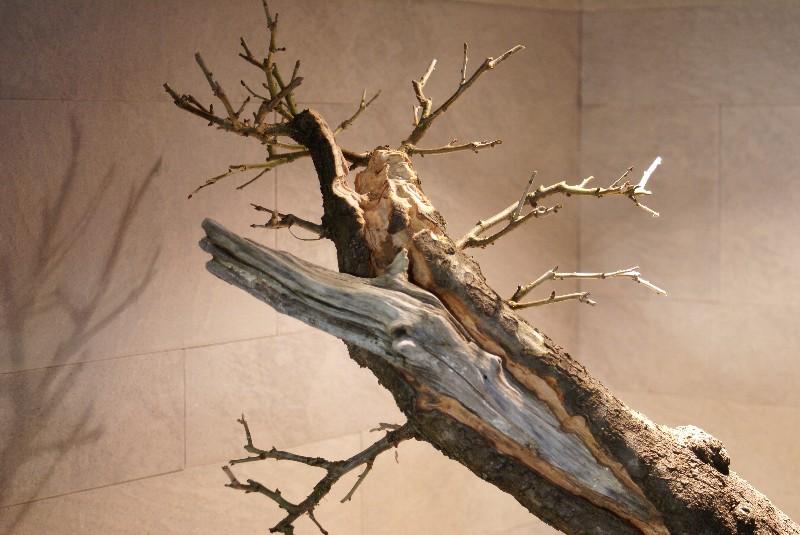 Cerisier Bois Mort : ??? naturellement bonsa? ?? :: Evolution Sainte lucie