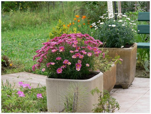 forum jardin au naturel ant mis marguerite dimorphoteca etc. Black Bedroom Furniture Sets. Home Design Ideas