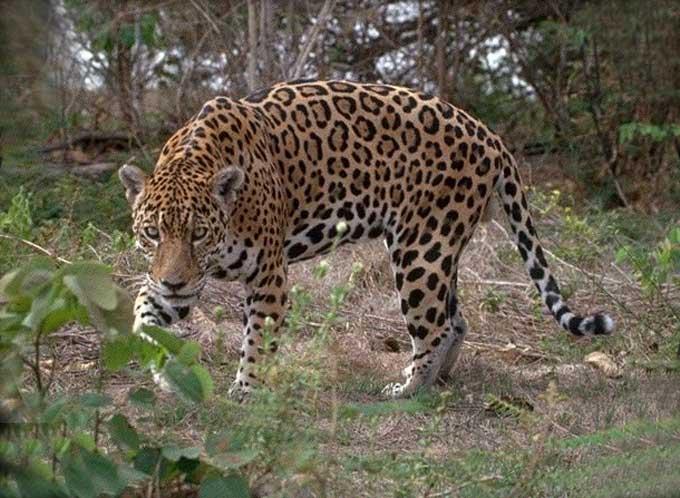 passions et partage le jaguar. Black Bedroom Furniture Sets. Home Design Ideas