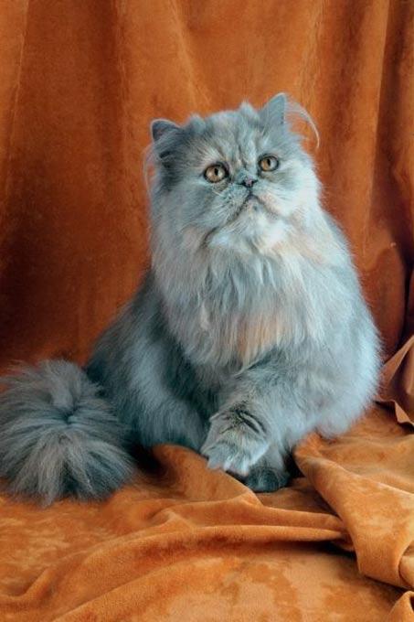 passions et partage le chat persan