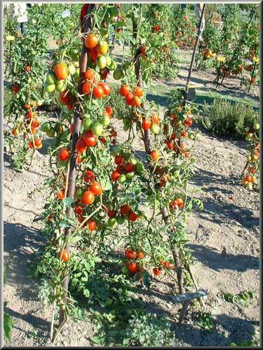 forum jardin au naturel tomates vs mildiou. Black Bedroom Furniture Sets. Home Design Ideas