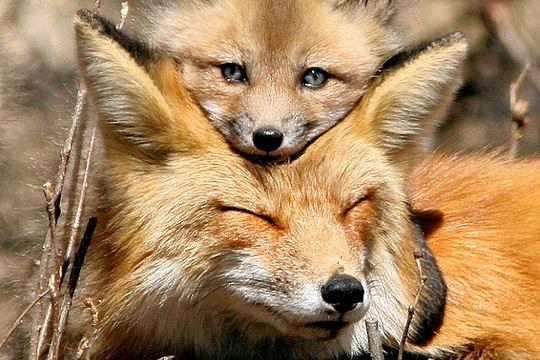 Souvent Proteger les renards - bonnes résolutions PL09