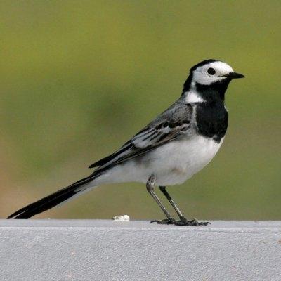 Passions et partage les oiseaux de nos villes et de for Oiseau tete noire et blanche