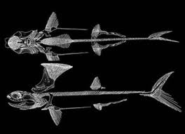Paleojurassic stethacanthus - Requin enclume ...