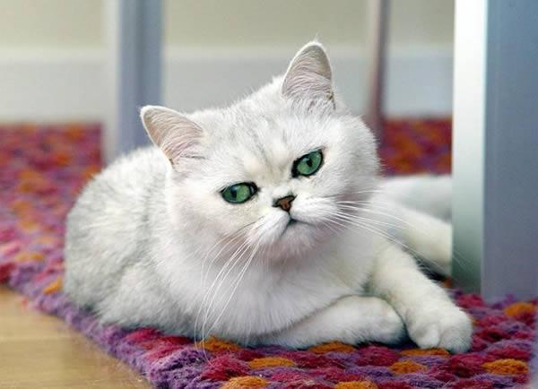passions et partage le chat persan. Black Bedroom Furniture Sets. Home Design Ideas