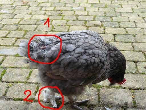 Nos amours de plumes et de poils gale ou pas for Maladie poules perte plumes