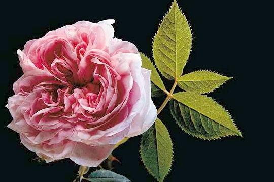passions et partage les roses anciennes. Black Bedroom Furniture Sets. Home Design Ideas