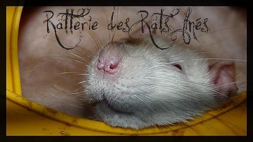 les chat rat des ratterie des rats 39 fin s. Black Bedroom Furniture Sets. Home Design Ideas
