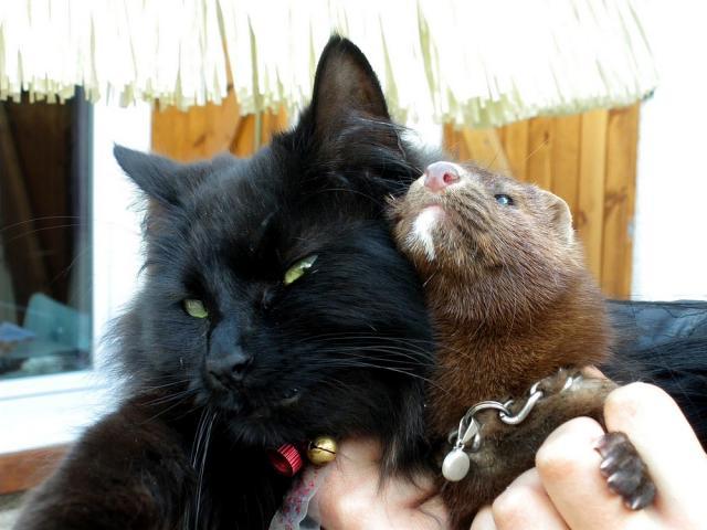 Rencontre furet chat