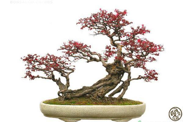Espace bonsa penjing - Dessin bonzai ...
