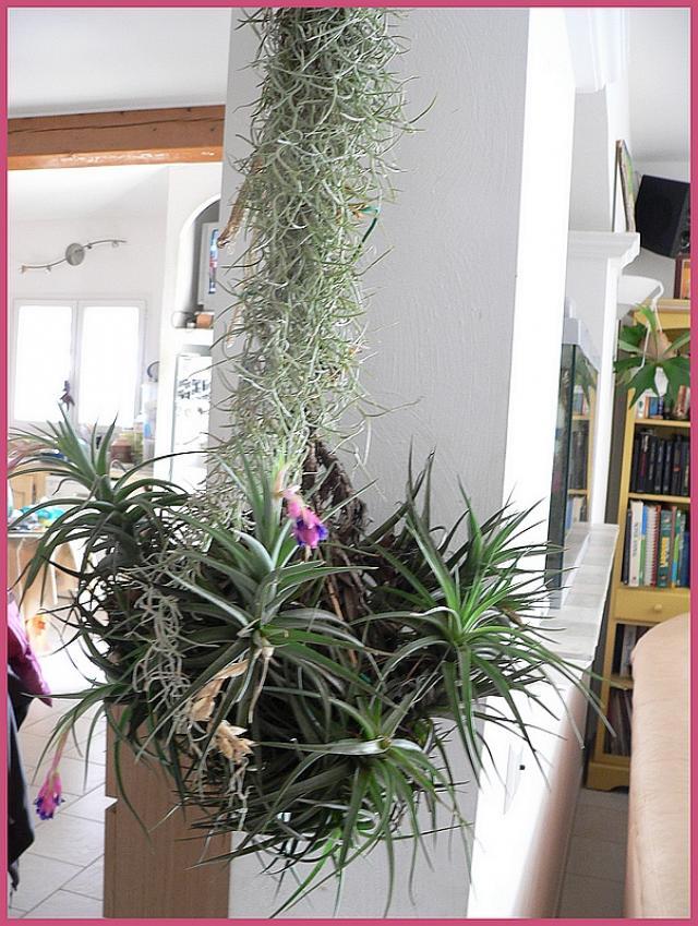 forum jardin au naturel tillandsia ou fille de l 39 air. Black Bedroom Furniture Sets. Home Design Ideas