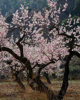 Forum Ait Souab شجرة اللوز