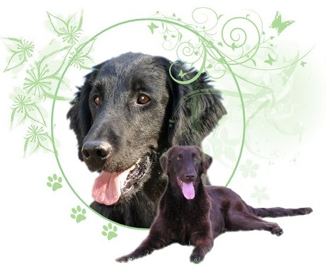Le forum du Flat Coated Retriever Index du Forum