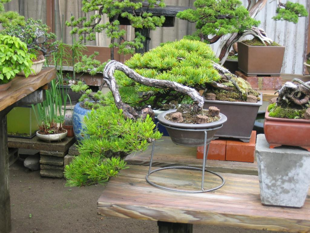 Naturellement bonsa le jardin de hamano for Bonsai de jardin