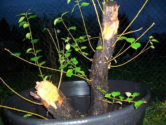 Cerisier Bois Mort : naturellement bonsa? ?? :: CERISIER DE SAINTE LUCIE BOURGUIGNON