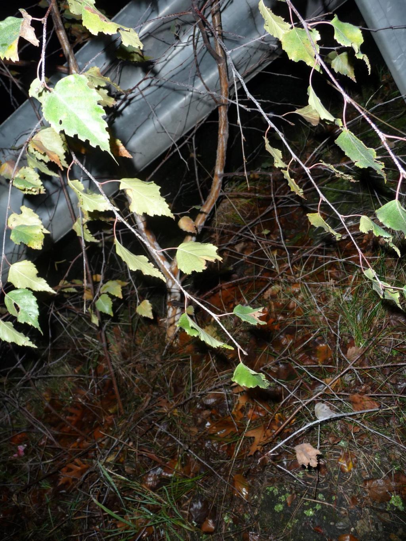 espace bonsaï :: prélèvement d'un bouleau