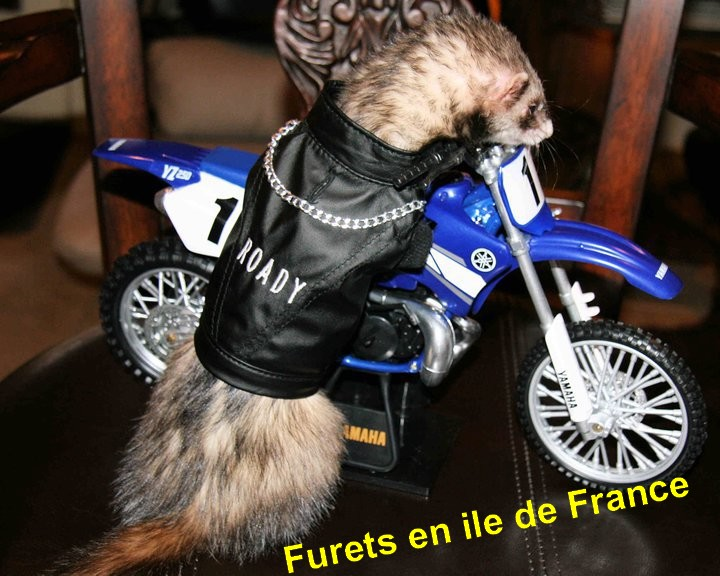 Rencontre furet chat