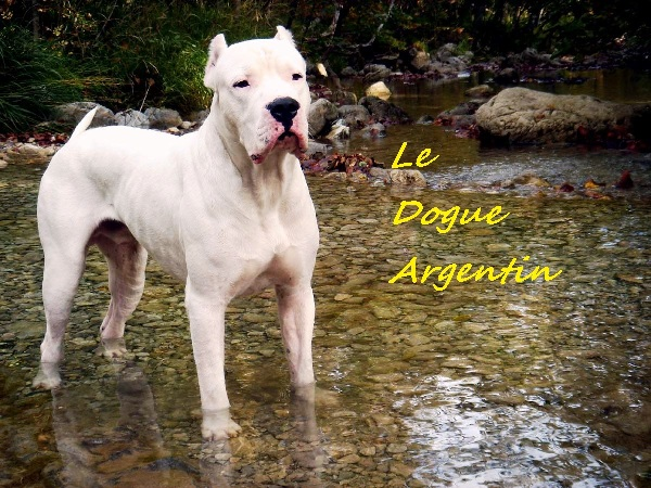 le dogue argentin Index du Forum