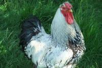 pourquoi mes poules ne pondent pas