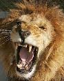 Un lion PAS CONTENT!