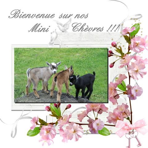 Nos mini chèvres Index du Forum