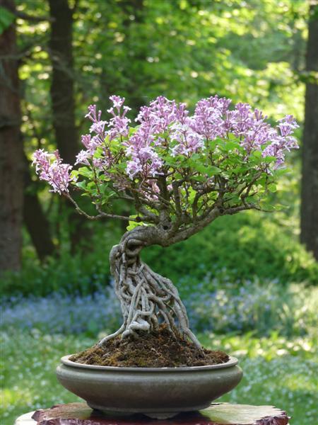 Club bonsa de l vis st nom lilas - Quand tailler les lilas ...