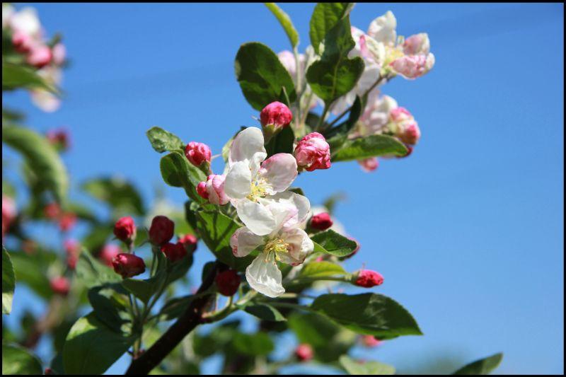 le forum des border terriers fleurs d 39 avril dans le jardin. Black Bedroom Furniture Sets. Home Design Ideas