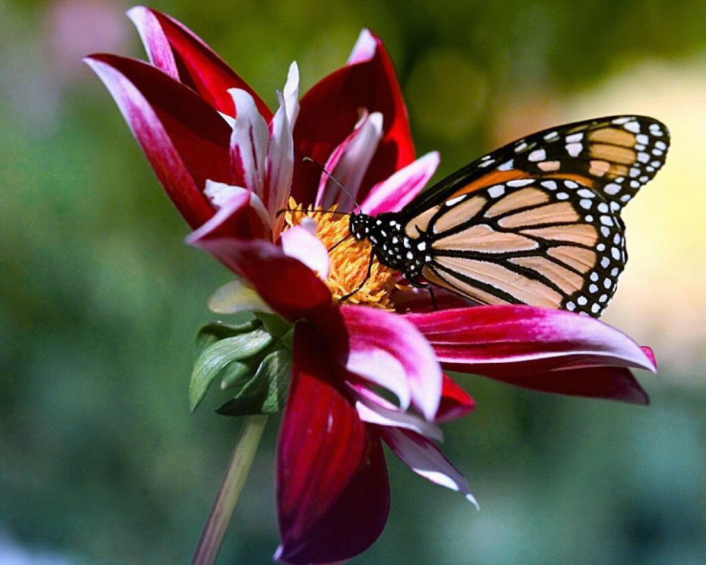 Trouble bipolaire le forum des bipotes - Image papillon et fleur ...