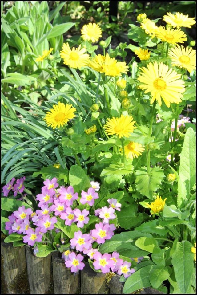 Le forum des border terriers fleurs d 39 avril dans le jardin for Fleurs dans le jardin