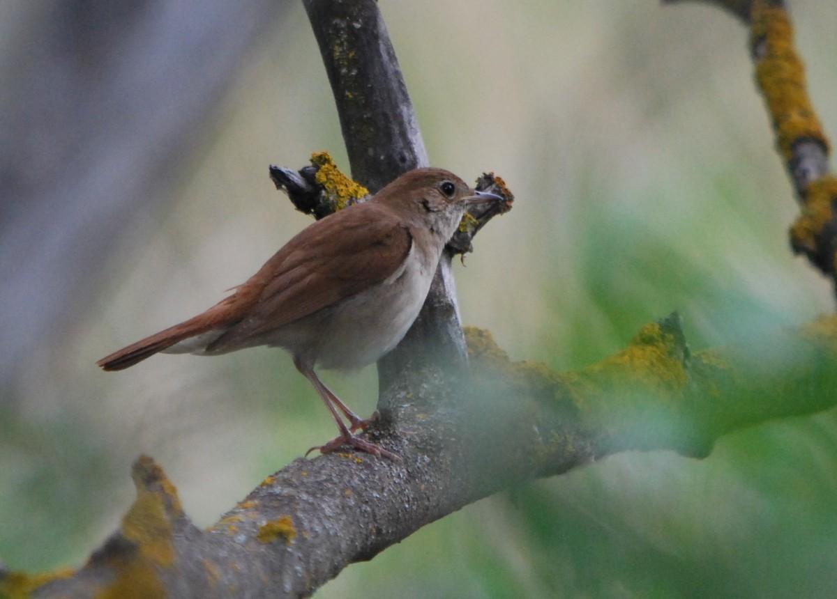 groupe ornithologique valaisan petit passereau maj 02