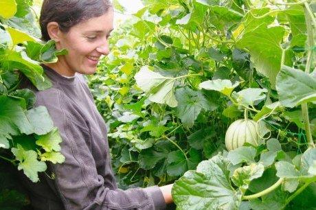 flavie aubineau est la seule maraich 232 re 224 faire pousser ses melons en hauteur photo c p