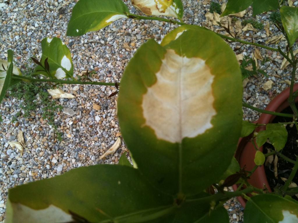 s o s plantes maladie citronnier