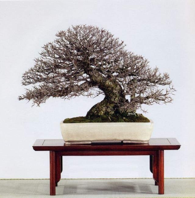 Naturellement bonsa ecorces des ormes de chine - Orme de chine bonsai ...