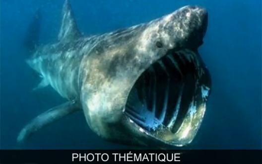 Les ovnis le 2 me plus grand requin - Grand poisson de mer ...