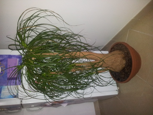 S o s plantes beaucarn a pied d 39 lephant help - Plante verte appelee pied d elephant ...