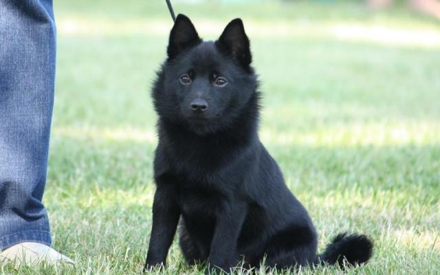 club de race petit chien russe