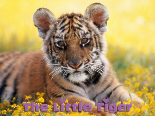 The Little Tiger Index du Forum