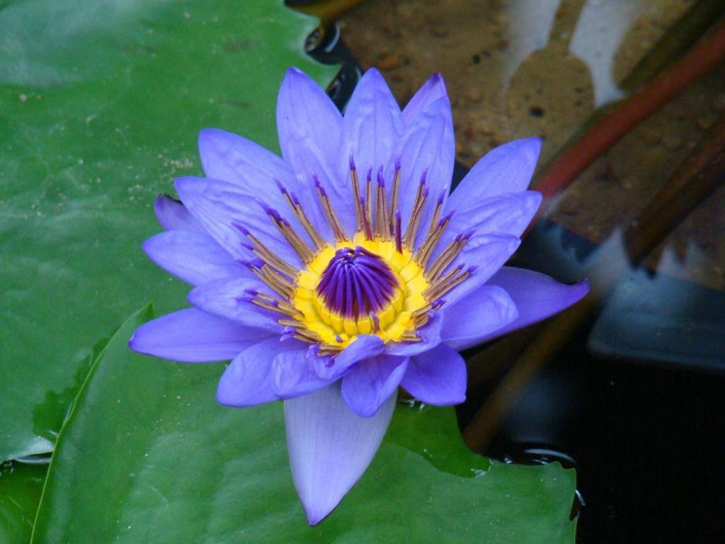 les aventures de tintin pourquoi ce choix de titre le lotus bleu. Black Bedroom Furniture Sets. Home Design Ideas
