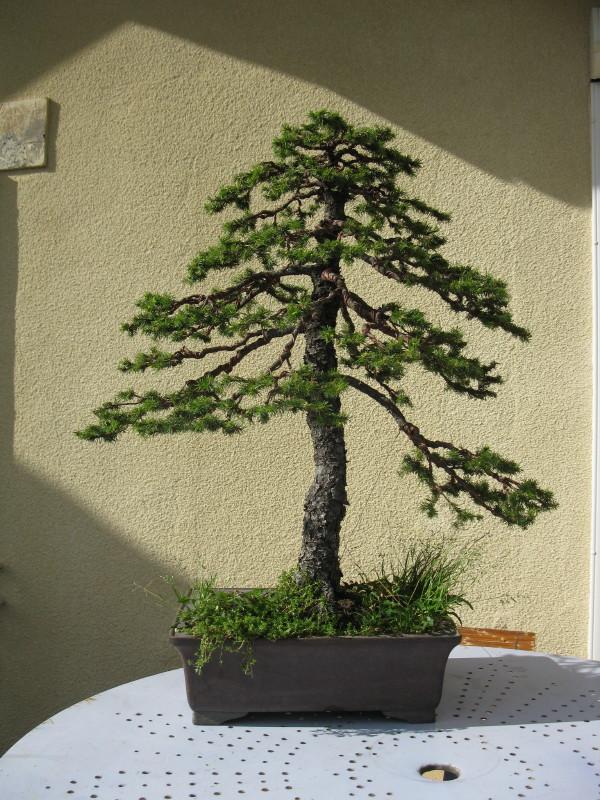 Naturellement bonsa epicea for Bonsai artificiel grande taille