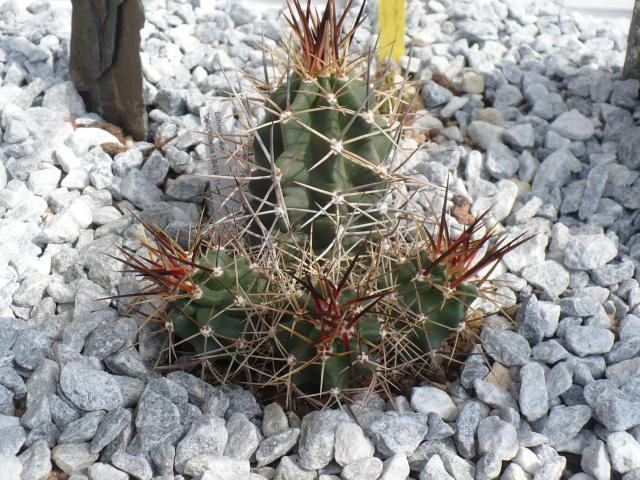 cactusrustiquesforum quelques cactus en terre sous abri. Black Bedroom Furniture Sets. Home Design Ideas