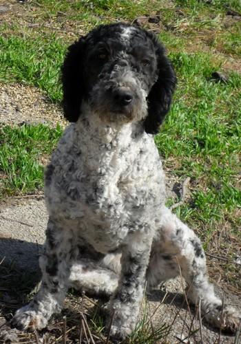le forum chasse et chien a vendre perro de agua chien d 39 eau espagnol. Black Bedroom Furniture Sets. Home Design Ideas