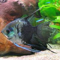 rencontre male femelle pogona