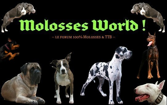 100% Molosses et Terriers de type Bull !! Index du Forum