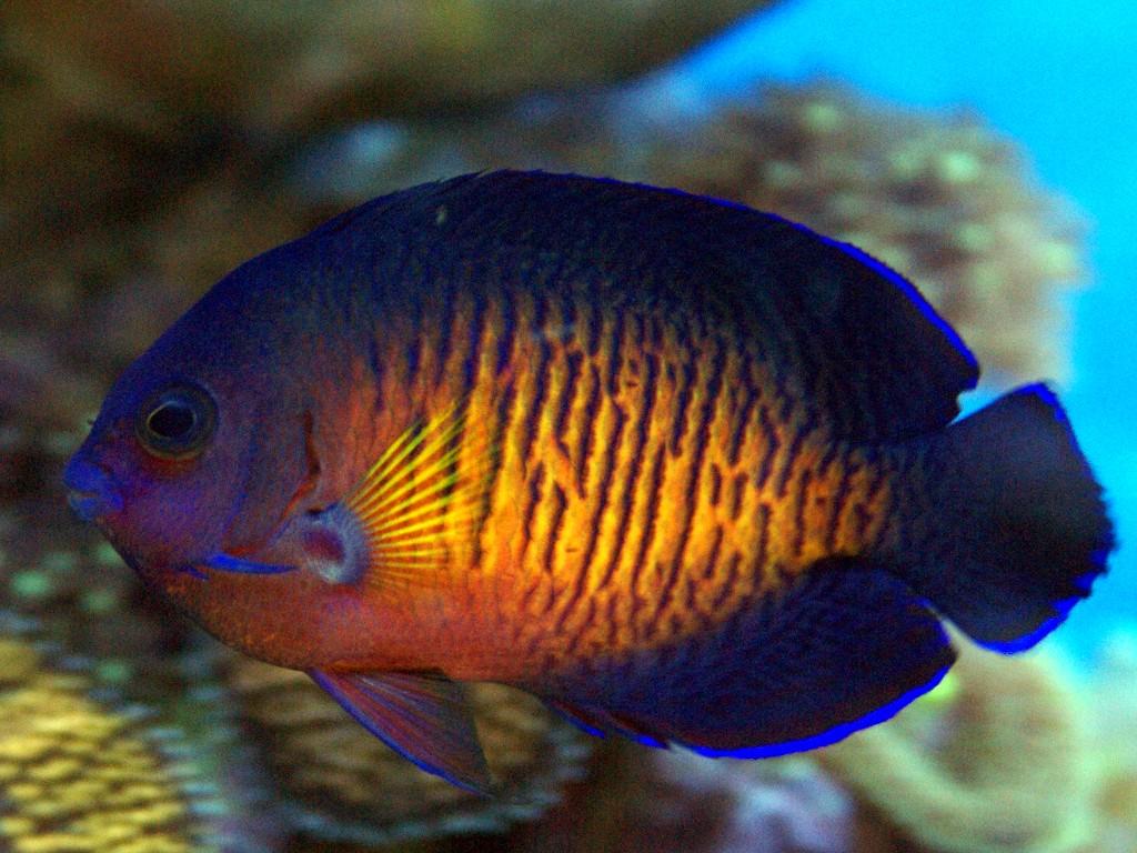 Aquario philrecifal vente des poissons et d tritivores for Vente de poisson