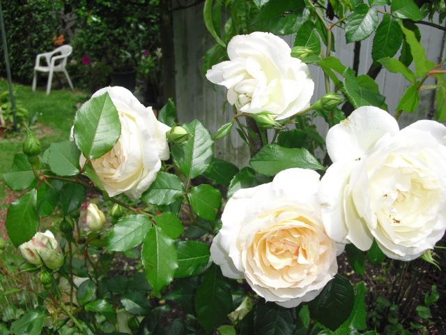 une m nagerie dans mon jardin mes roses et toutes les fleurs du jardin. Black Bedroom Furniture Sets. Home Design Ideas