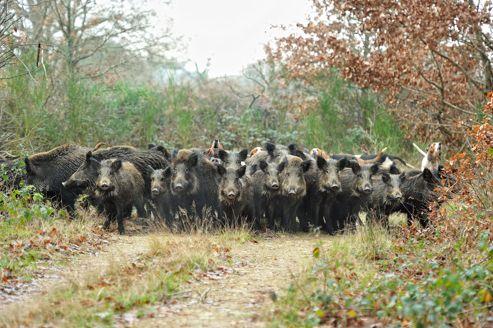 Le forum chasse et chien l 39 explosion d mographique du - Cuisiner du sanglier au four ...